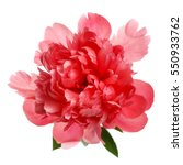 flower rare salmon colored... | Shutterstock . vector #550933762