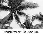 beautiful palm coconut tree on... | Shutterstock . vector #550955086