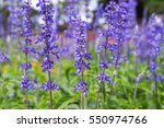 beautiful purple flowers of... | Shutterstock . vector #550974766
