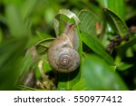 snail in the graden. | Shutterstock . vector #550977412