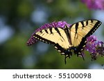 Eastern Tiger Swallowtail ...