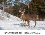 White Tailed Deer Buck And Faw...