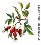 a branch of dog rose  briar ... | Shutterstock . vector #551068456