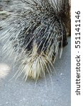 crested porcupine back view  ... | Shutterstock . vector #551141146