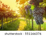 grape harvest  | Shutterstock . vector #551166376
