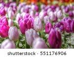 Purple Tulip Fields Are Growin...