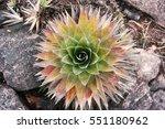 indigenous plant on top of... | Shutterstock . vector #551180962