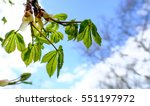Young Chestnut Tree Leaves See...