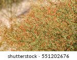 Small photo of Camel thorn (alhagi) bush with beans of autumn in the Kyzylkum desert, Uzbekistan