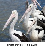 Three pelicans waiting to be fed, near water - stock photo