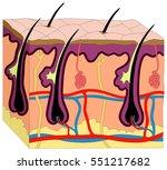 human skin anatomy cross... | Shutterstock . vector #551217682