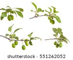 Branch Of Plum Tree. Isolated...
