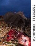 Small photo of Blue foxes (Alopex lagopus semenovi) come at night to devour carcasses of fur seal (Callorhinus ursinus) which Aleuts harvested on Komandor-Aleutian island ridge