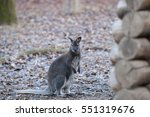 bennett's kangaroo is a... | Shutterstock . vector #551319676
