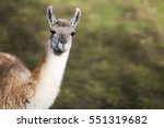 portrait of a guanaco chewing... | Shutterstock . vector #551319682