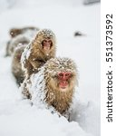 Group Of Japanese Macaques Goe...