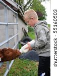 Boy Bottle Feeds Calf On Farm