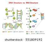 dna structure vs rna structure. ... | Shutterstock .eps vector #551809192