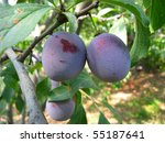 ripening plums on a tree in... | Shutterstock . vector #55187641