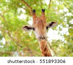 Cute Giraffe On Beautiful...