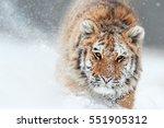 portrait of siberian tiger ... | Shutterstock . vector #551905312