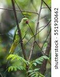 Small photo of Rose-ringed parakeet in Minnerya national park, Sri Lanka ; specie Psittacula krameri family of Psittacidae