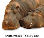 Hippopotamus pair in love