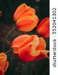 Beautiful Tulips Festival Of...