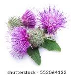 Milk Thistle  Silybum  Flowers...