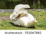 Elegant Swan On The Grass