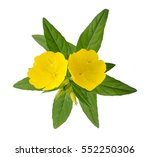 common evening primrose flowers ... | Shutterstock . vector #552250306