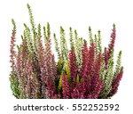 Calluna Plants With Flowers...
