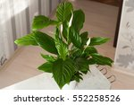 Spathiphyllum Plant With...