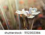 white iris in the garden.... | Shutterstock . vector #552302386