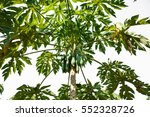papayas hanging from the tree. | Shutterstock . vector #552328726