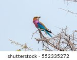 Small photo of Lilac-breasted roller (Coratias caudata) perched on a acacia nebrownii branch against blue sky