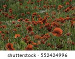 Poppy Field Growing On Land ...