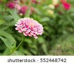 pink flower in the garden | Shutterstock . vector #552468742