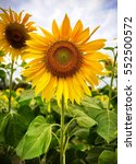 Bright Yellow Sunflowers In...
