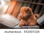 Stock photo lovely brown puppy dog portrait alert puppy dog lay down on wooden chair 552507235