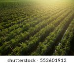 aerial view of field growing... | Shutterstock . vector #552601912