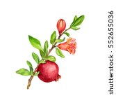 pomegranate tree branch with... | Shutterstock . vector #552655036