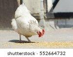 hen eat chickens feed in front... | Shutterstock . vector #552664732