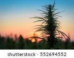 leaves of marijuana plant on... | Shutterstock . vector #552694552