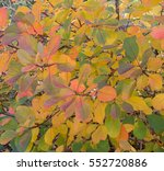 Small photo of Background or Texture of Cotinus obovatus (Chittamwood or American Smoketree) in the Arboretum at Rosemoor in Rural Devon, England, UK