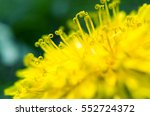 Yellow Flower Dandelion In...