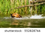 Small photo of Adorable young purebred red German Pinscher energetically jumping into a lake and swimming to retrieve a stick. Close up with short time exposure to freeze motion.