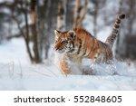 Cloe Up Siberian Tiger ...
