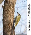 grey headed woodpecker  picus... | Shutterstock . vector #552882826