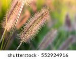 Ornamental Grasses In Backlight